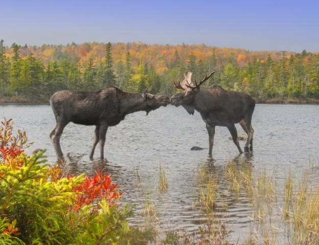 moose-01-1024x787.jpeg